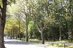 Fünf kranke Kastanien in der Warnemünder Parkstraße müssen gefällt werden