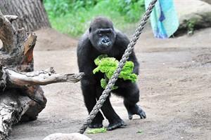 Gorillajunge Kwame ergänzt die Gruppe um Silberrücken Assumbo im Rostocker Zoo  (Foto: Joachim Kloock)