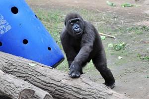 Kleiner Kwame aus Heidelberg verstärkt Gorillagruppe im Zoo Rostock (Foto: Joachim Kloock)
