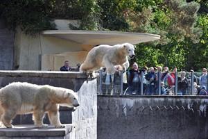 Rostocker Zoo verabschiedet seine Eisbären (hier: Vilma und Fiete) für den Bau des Polariums (Foto: Joachim Kloock)