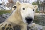 Eisbär Fiete lebt jetzt in Ungarn