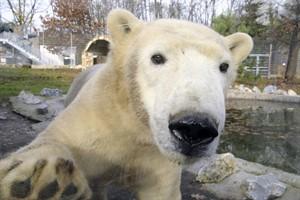 Eisbär Fiete lebt jetzt in Ungarn (Foto: Sóstó Zoo)