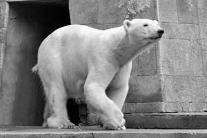 Eisbärin Vilma überraschend im Zoo Aalborg verstorben (Foto: Joachim Kloock)