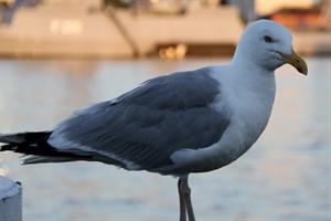 Geflügelpest H5N8: Vogelgrippe-Virus bei Silbermöwe nachgewiesen (Foto: Archiv)
