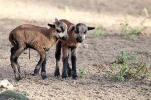 Kamerunschaflämmer sind erste Jungtiere des Jahres im Zoo Rostock (Foto: Zooverein/Brandt)