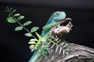 Fidschi-Leguan im Zoo Rostock (Foto: Brandt/Zooverein)