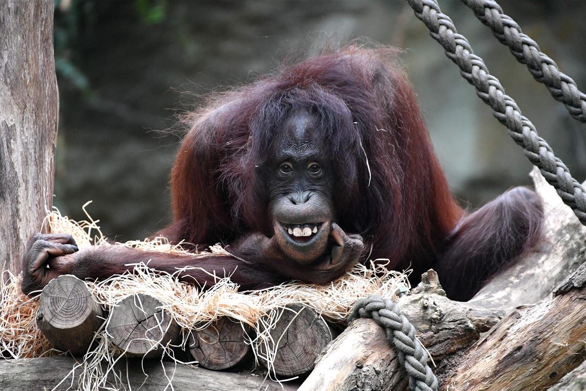 rostocker zoo erwartet nachwuchs bei den orang utans rostock heute. Black Bedroom Furniture Sets. Home Design Ideas