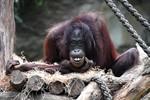 Rostocker Zoo erwartet Nachwuchs bei den Orang Utans