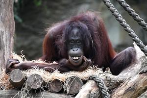 Orang-Utan-Dame Hsiao Ning ist trächtig und könnte Ende August für Nachwuchs im Darwineum des Rostocker Zoos sorgen (Foto: Joachim Kloock)