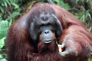 Aus dem jungenhaften Sabas ist ein Orang-Utan-Mann geworden. Sabas ist ein waschechter Rostocker und der Sohn von Sunda und Ejde. Nesthäkchen Surya ist seine Schwester. Nun wird er selbst Vater. (Foto: Joachim Kloock)