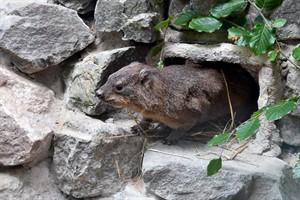 Kap-Klippschliefer, kaninchengroße, murmeltierähnliche Säugetiere, sind die neuesten Bewohner im Zoo Rostock (Foto: Joachim Kloock)