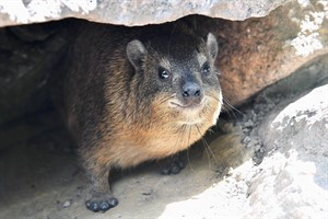 Kap-Klippschliefer im Zoo Rostock (Foto: Joachim Kloock)