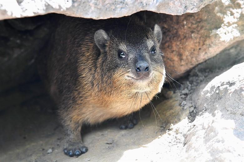 Kap-Klippschliefer - neue Tierart im Zoo Rostock