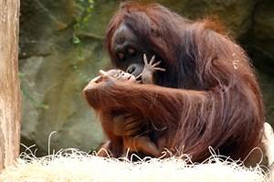 Mit großer Hingabe kümmert sich Neu-Mama Hsiao-Ning um ihr erstes Baby und macht damit auch ihre Tierpfleger glücklich. Am 27. Juli konnten auch die Besucher erstmals Hsiao-Ning und ihren Nachwuchs im Darwineum bewundern