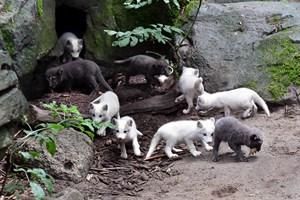 Das gemeinsame Fressen lockt die kleinen Polarfüchse im Zoo Rostock aus dem Höhlenbau heraus. Ansonsten ziehen sie es noch vor, sich lieber zu verstecken (Foto: Joachim Kloock)