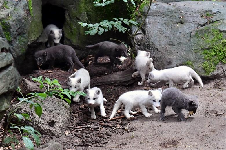 Erstmals Nachwuchs bei den Polarfüchsen im Rostocker Zoo