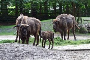 Wisentmädchen im Zoo Rostock auf den Namen Willow getauft (Foto: Joachim Kloock)