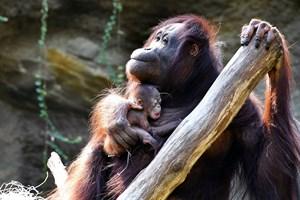 Wie soll das im Rostocker Zoo geborene Orang-Utan-Mädchen heißen? (Foto: Joachim Kloock)