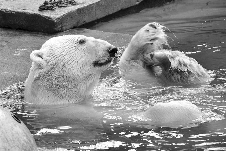 Eisbär Lars im Zoo Aalborg verstorben