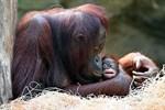 Orang-Utan-Mädchen im Zoo Rostock auf den Namen Niah getauft