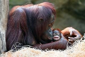 Orang-Utan-Mädchen Niah mit Mama Hsiao-Ning im Zoo Rostock (Foto: Joachim Kloock)
