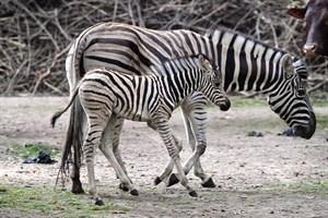 Zebra-Nachwuchs im Zoo Rostock (Foto: Joachim Kloock)