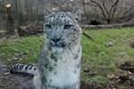 Schneeleoparden-Zuwachs im Zoo Rostock