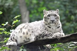 Schneeleopardin Emba wurde am 17. Mai 2008 im Rostocker Zoo geboren (Foto: Zoo Rostock/Joachim Kloock)