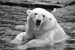 Eisbärin Vienna im französischen Zoo verstorben