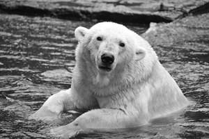 Eisbär Vienna 2014 im Zoo Rostock (Foto: Joachim Kloock)