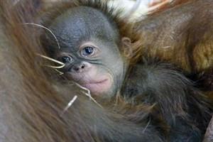 Das kleine Orang-Utan-Mädchen schmiegt sich ganz fest an seine Mama (Foto: Zoo Rostock/Kerstin Genilke)