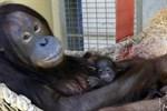 Orang-Utan-Baby im Zoo Rostock geboren