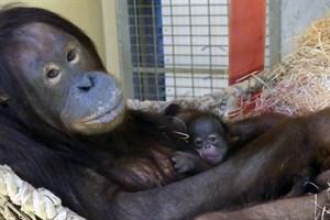 Orang-Utan-Dame Dinda mit ihrem noch namenlosen Baby nach der Geburt (Foto: Zoo Rostock/Kerstin Genilke)