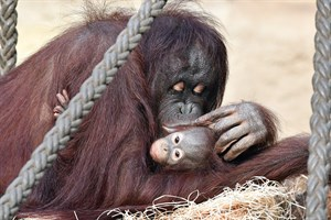 Orang-Utan-Mama Dinda mit ihrem Nachwuchs LinTang (Foto: Zoo Rostock/Joachim Kloock)