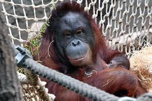 Auch Orang-Utan-Dame Miri kümmert sich rührend um ihr Jungtier (Foto: Zoo Rostock/Joachim Kloock)
