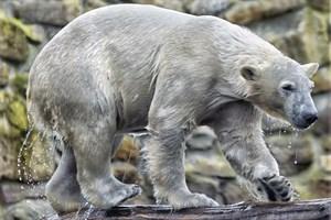 Akiak ist ein Enkel der legendären Rostocker Eisbären Churchill und liebt das Wasser (Foto: Zoo Rhenen)
