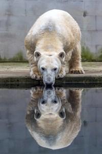 Eisbärin Noria hat osteuropäische Wurzeln und ist ebenfalls eine kleine Wasserratte (Foto: Zoo Brno)