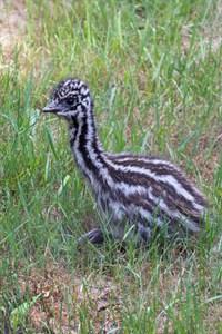 Das etwa eine Woche alte Emu-Küken gewöhnt sich in der Außenanlage ein. (Foto: Zoo Rostock/Marion Böhm)