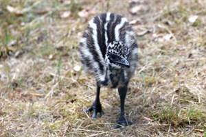 Erstes Emu-Küken im Zoo Rostock geboren - Schritt für Schritt erkundet der Emu-Nachwuchs seine Umgebung. (Foto: Zoo Rostock/Kloock)