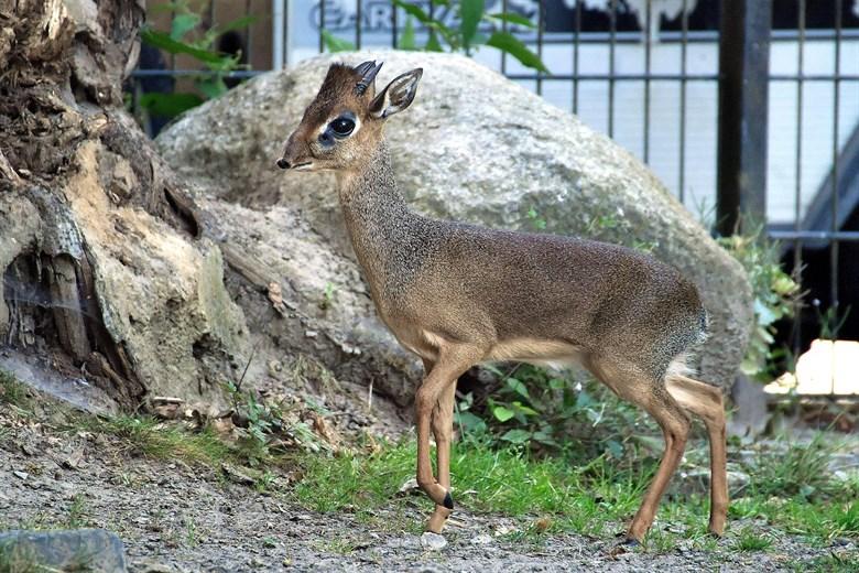Dikdiks - neue Tierart aus Afrika bereichert den Rostocker Zoo