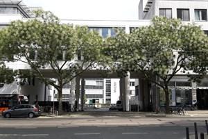Die Schnurbäume in der Doberaner Straße kommen mit dem Stadtklima gut zurecht (Foto: Amt für Stadtgrün, Naturschutz und Landschaftspflege)