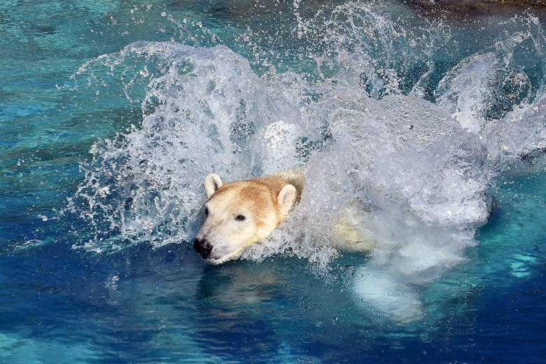 Eisbären Noria und Akiak im Rostocker Zoo angekommen
