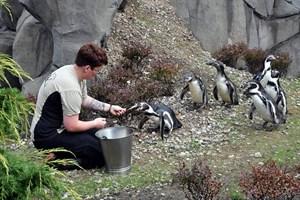 Tierpflegerin Anna Krasselt weiß, wie sie ihre Schützlinge ins Freie locken kann. Mit frischen Fischen bricht sie das Eis und schon bald darauf war die Neugier der Humboldtpinguine groß (Foto: Joachim Kloock/Zoo Rostock)