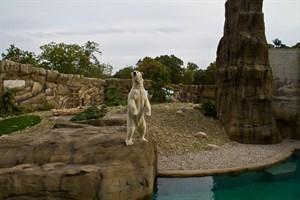 Eisbär Akiak auf seiner neuen Anlage, dem Polarium im Zoo Rostock - sein Vater sowie seine Großeltern sind Rostocker Eisbären