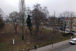 Blutbuche neben dem Baufeld am Rosengarten