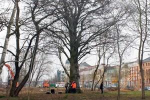 Die Blutbuche am Rosengarten wird schalltomograhisch untersucht, eine Lehrstunde auch für die Azubis im Rostocker Amt für Stadtgrün