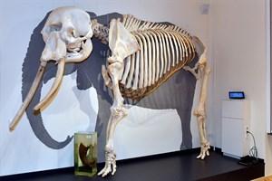Das Skelett von Rostocks legendärer Elefantendame Sara ist im Großtier-Präparatesaal im Zoologischen Institut der Uni Rostock zu sehen (Foto: Zoo Rostock/Joachim Kloock)