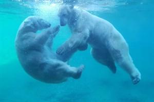 """""""Eisbärenunterwassertanz"""" zum Foto des Jahres 2018 im Zoo Rostock gekürt (Foto: Franziska Bruhn)"""