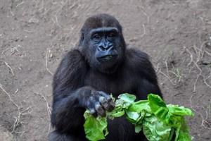 Früher hat sich Kwame vor allem für das Essen interessiert, jetzt rücken verstärkt die drei Weibchen in seinen Fokus. (Foto: Zoo Rostock/Joachim Kloock)