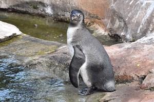 Das am 8. Mai im Polarium geschlüpfte Pinguinküken; das am 16. Juni geschlüpfte Pinguinbaby befindet sich noch im Schutz der Bruthöhle (Foto: Zoo Rostock/Joachim Kloock)